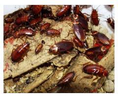 Cockroach Treatment Singapore | Top-pestcontrol.sg