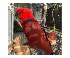 Buy Beautiful Eclectus Parrots