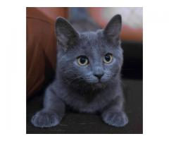 Russian Blue Cat for Sale